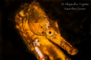 Seahorse close up, Acapulco México by Alejandro Topete