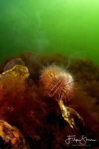 """""""Smoking hot!"""", spawning sea urchin, Zeeland, The Netherl... by Filip Staes"""