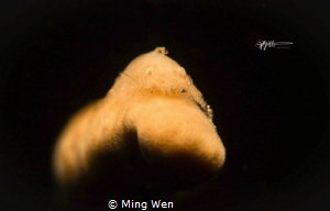CRYPTIC SPONGE SHRIMP Canon 5D Mark III 100mm f/18 1/200... by Ming Wen