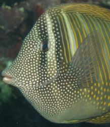 Zebrasoma Surgeonfish - Photo was taken at sharks bay wit... by Anel Van Veelen