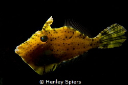 Filefish Lantern by Henley Spiers