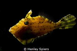 Filefish Lantern by Henley Spiers
