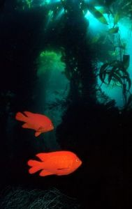 Garibaldi beneath kelp streamers by george perina