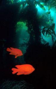 Garibaldi beneath kelp streamers by george perina