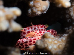 An Acropora guardian! by Fabrizio Torsani