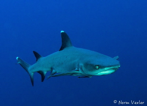 Up close and personal with this amazing Whitetip Reef Sha... by Norm Vexler
