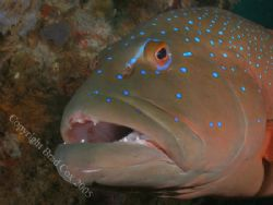 Coral Trout Exmouth Navy Pier Olympus 7070 by Brad Cox