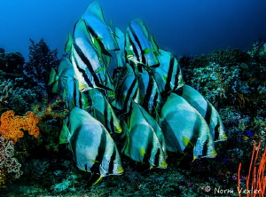 """Friendly school of Spadefish at """"Blue Magic"""" dive site in... by Norm Vexler"""