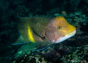 Mexican Hogfish from the Sea of Cortez, Mexico by Norm Vexler