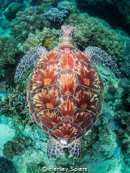 Never a dull moment when a turtle shows up. by Henley Spiers