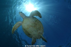 a green see turtle majestically swims above by Muhammad Alfian Hassim
