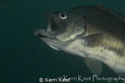 Dislocated jut jaw. the fish seems to be doing fine though by Kerri Keet