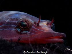 Lepadogaster lepadogaster Up side down life by Cumhur Gedikoglu
