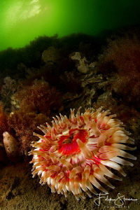 Dahlia anemone (Urticina felina), Lake Grevelingen , The ... by Filip Staes