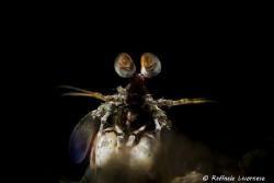 Manthis shrimp with snooted strobe light by Raffaele Livornese