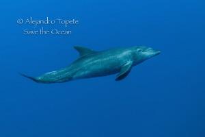 Dolphin encounter, Roca Partida México by Alejandro Topete