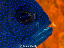 Western blue devil    Paraplesiops sinclairi by Mark Reilly