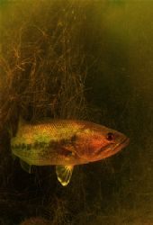 freshwater bass d70+10.5 and filter by Gregory Grant