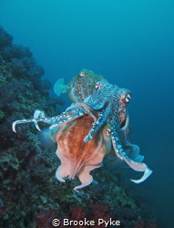 I encountered these three beautiful Pharaoh Cuttlefish on... by Brooke Pyke