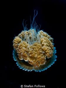 Interstellar  Jellyfish - Thysanostoma thysanura  Sai... by Stefan Follows