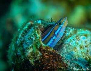 Bluestripped Flagblenny photographed at Palau Pef, Raja A... by Norm Vexler