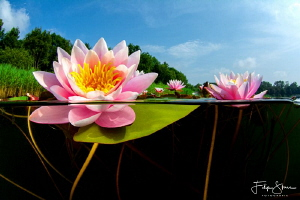 Waterlilies in the summer, Turnhout, Belgium. by Filip Staes