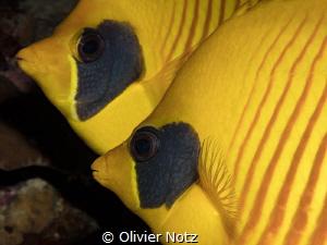 Masked Butteflyfish / Chaetodon semilarvatus by Olivier Notz