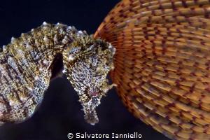 Hair crest by Salvatore Ianniello