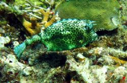 I saw several Cowfish on my last trip to Isla Musjeres. H... by Bonnie Conley
