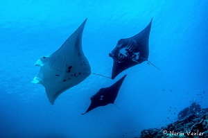 "Nice formation of 3 Mantas during a dive at ""Manta Sandy""... by Norm Vexler"