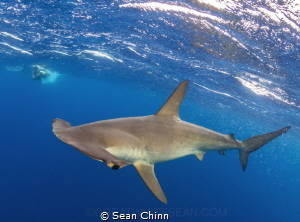 Hammertime. Smooth Hammerhead in Cabo San Lucas by Sean Chinn