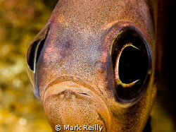 Pempheris multiradiata by Mark Reilly
