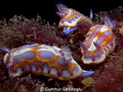 Chromodoris britoi Juvenile group confidence by Cumhur Gedikoglu