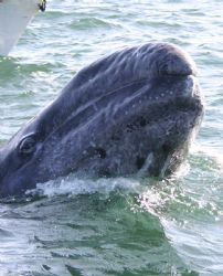 Curious baby Gray Whale.