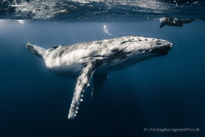 Whale calf posing by Christophe Lapeze