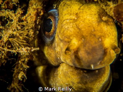Moray eel by Mark Reilly