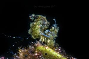 Phycocaris sp. Canon 5Div in Aquatica Digital A5DMkiv  ... by Wayne Jones