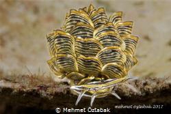 Butterfly Seaslug by Mehmet Öztabak