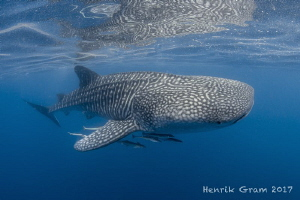 The Gentle Giant of the Arabian Gulf by Henrik Gram Rasmussen