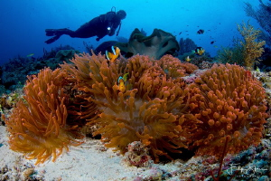View over the anemone fish, Raja Ampat. by Filip Staes