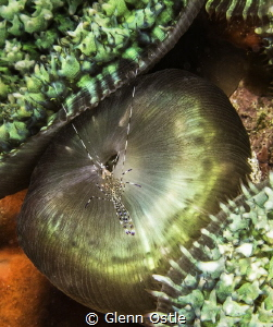 A small shrimp traverses the colorful corallimorph on whi... by Glenn Ostle