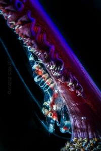 Dasycaris ceratops by Wayne Jones