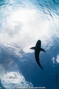 """""""Shark In The Sky"""" A Caribbean reef shark is silhouetted... by Susannah H. Snowden-Smith"""