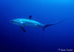 Thresher Shark in Malapasqua, Philippines by Norm Vexler