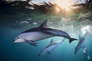 """Timeless"" is an image of Dusky dolphins taken of Cape Po... by Allen Walker"