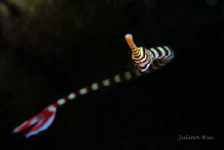 Banded pipefish by Julian Hsu