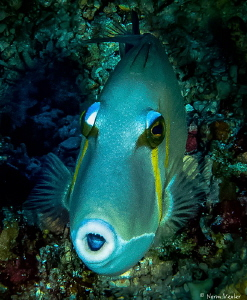 Scythe Triggerfish in the Komodo Islands by Norm Vexler
