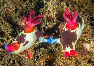 Nudibranch Love by Norm Vexler