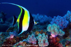 Angel fish . Grand Baie Mauritius by Jean-Yves Bignoux