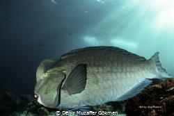 Bumphead Parrotfish  Canon 80d Sea&Sea mdx80 housing and... by Deniz Muzaffer Gökmen